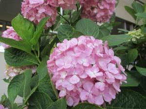 満開の紫陽花 (2)