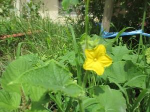野菜の花2