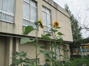 280722向日葵 (2)