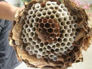 ハチの巣内部 (2)