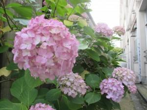 満開の紫陽花 (1)