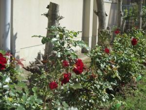 バラが満開 (6)