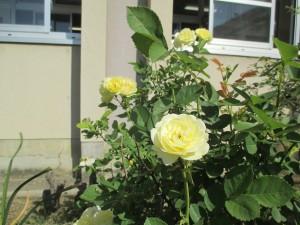 バラが満開 (5)