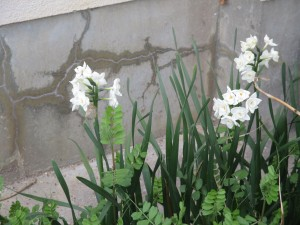 咲いたかな (1)